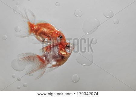 A Pair Of Goldfish On The Gray Water Backdrop Among The Air Bubbles, From The Bottom Right There Is