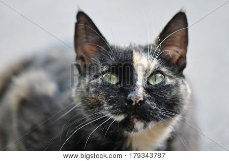 A Homeless Cat, Wool Half-black, With White And Red Spots, Green Eyes, Long White Mustaches And Erec