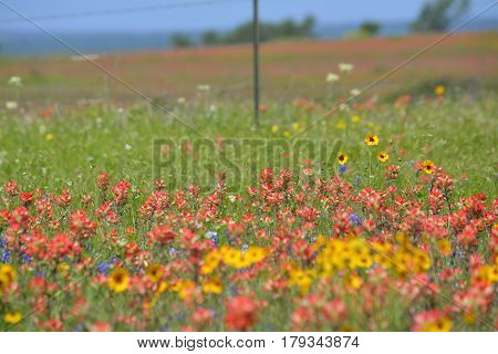 Colorful Austin, Texas wildflowers in the Spring