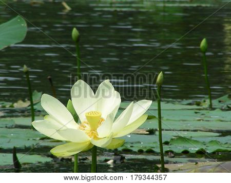 Water lily, east Texas, Caddo Lake, Water flower
