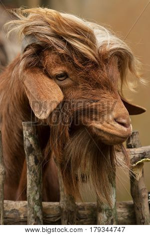 Portrait Of A Cute Furry Brown Goat With Drooping Ears And Long Wool, Behind A Wooden Rustic Fence O
