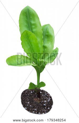 Young home plant with parallel venation isolated on white background