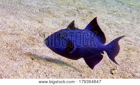Blue Trigger Fish In The Red Sea.