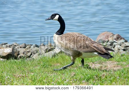 Canada Goose Branta canadensis maxima walking on green grass along the shore line. Geese have proven able to establish breeding colonies in urban areas which provide food and few natural predators.