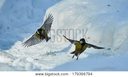 Tomtit Is Flying. Birds. Winter, Siberia. Russia.