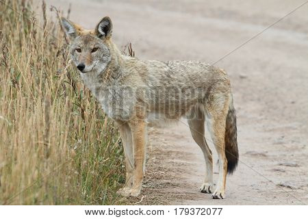 Western Coyote (Canis latrans) on a dirt road in Yellowstone National Park
