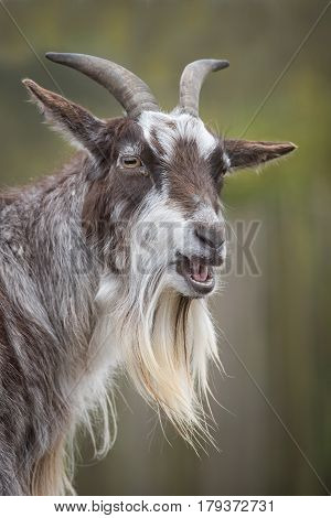 very close upright vertical portrait of a goat with horns and his mouth open