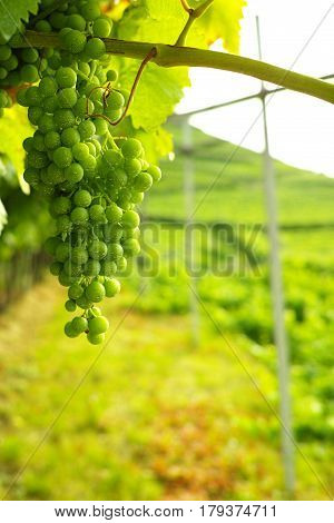 Trentino vineyards in the summer Italy, white wine production