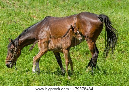 Mare with foal grazing on a spring pasture