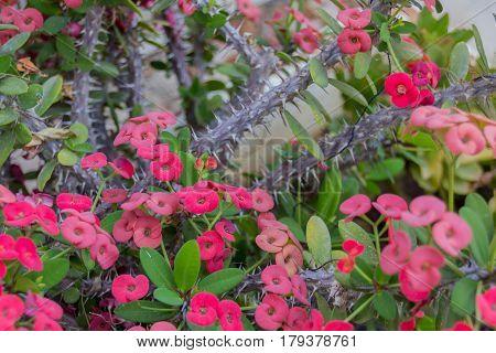 Blossoming Euphorbia Milii.