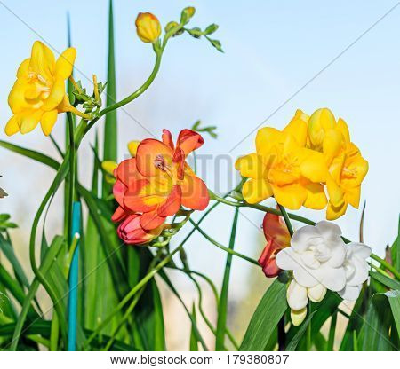 Yellow, Red And White Freesia Flowers, Window Blue Background, Green Leaves Close Up
