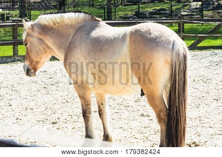 Nice Small white horse pony a paddock.