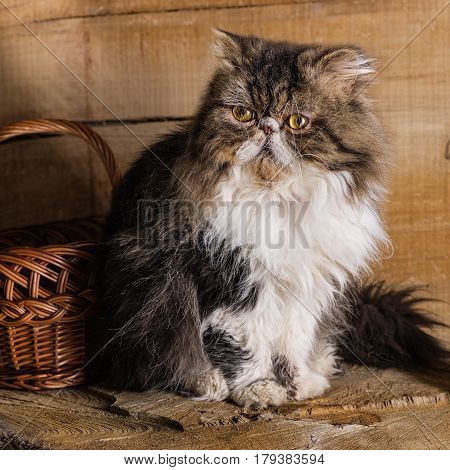 Young magnificent cat of the Persian breed near a wattled basket against the background of in style a rustic