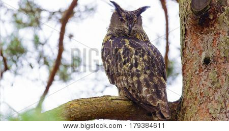 Eurasian eagle-owl or Bubo bubo is a species of eagle owl that resides in much of Eurasia. Sitting on a branch in a tree.