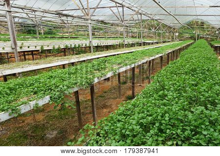 Green Vegetable Watercress Growing