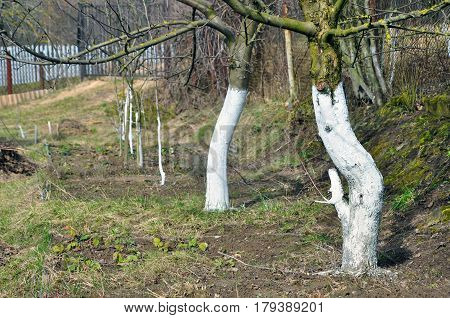 Trunks of trees painted with white paint to protect against rodents in garden in the spring.
