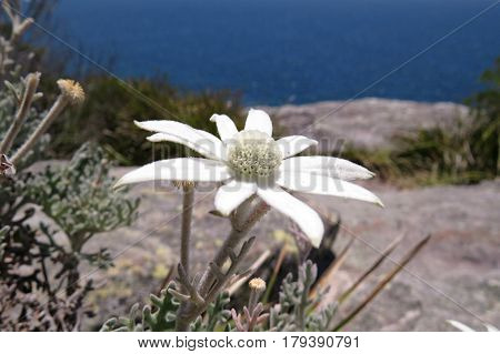White Flannel flower on a rock edge Australian coast Manly Sydney blue water ocean Actinotus helianthi