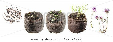 Stages of growth of plant from seed to flowering plant. Life cycle of thyme (Thymus serpyllum)
