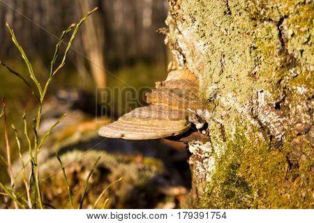 Trutoviki. Ocumlenny trutovik-wood-destroying fungus. Causes rotting of larch, cedar, birch, spruce, pine, aspen, alder.