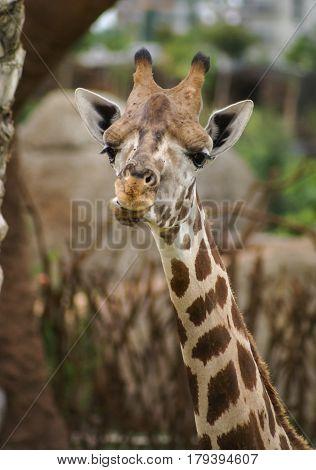 Closeup full face image of giraffe`s head and neck