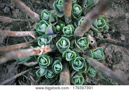Natural composition. Green sedum sprouts with old dry branches close up. Top view.