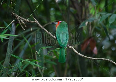 Red-bearded Bee-eater Perching On The Branch