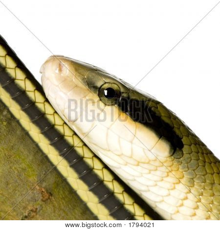 Rat snake in front of a white background poster