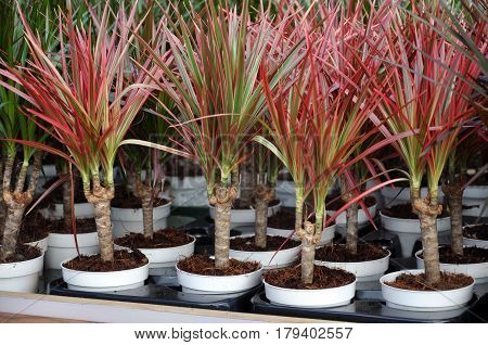 Many pots with red seedlings dracaena closeup.