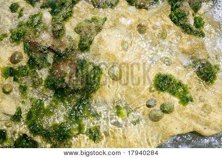 Algae from Mediterranean, green seaweed in the coastline water