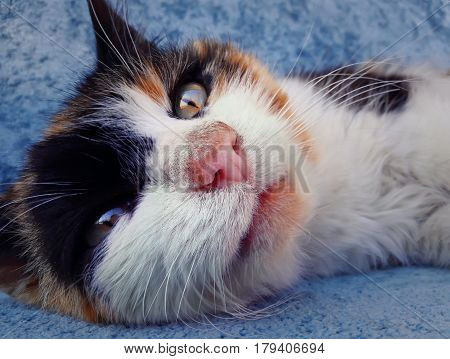 Beautiful striped cat laying tired on the blue sofa. Dreaming with opened eyes. Domestic kitten relaxing close up face portrait.