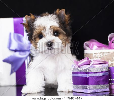 Puppy of a beaver of a Yorkshire terrier on a violet background