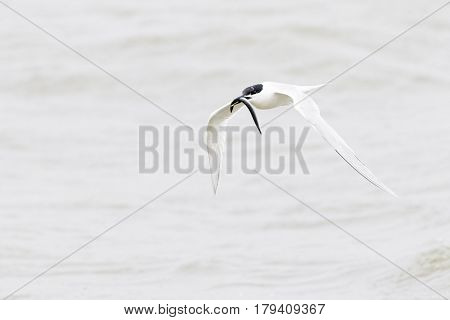 Sandwich tern (Sterna sandvicensis) flying with fish in bill Netherlands Texel