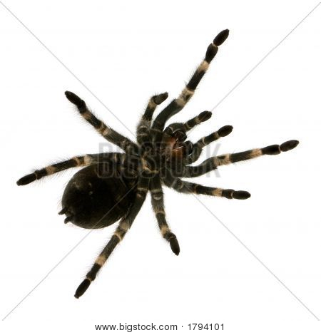 View from under Mexican redknee tarantula in front of a white backgroung poster