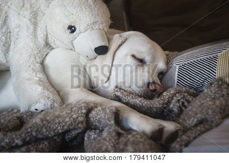 labrador retriever dog sleeping with polar bear as cuddly toy poster