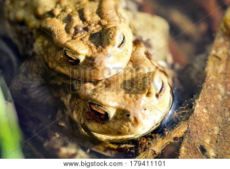 Toads before the hike, nature, animals