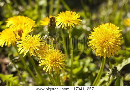 Flowers of wild dandelion in spring a yellow flower looking very cheerful and showy.