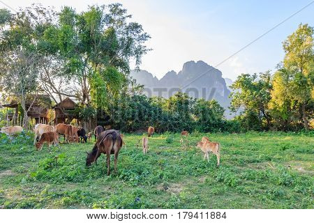 Cow in the empty field blue sky behind the mountain in Vang Vieng North Laos