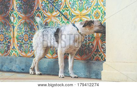 Puppy black and white metisse curioseful dog on colorful ornamental background and cream wall at sunny day