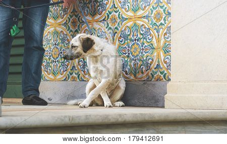 Puppy black and white metisse sitting dog tied with man hand on colorful ornamental background and cream wall at sunny day