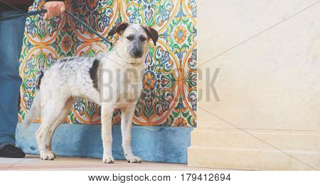 Puppy black and white metisse standing dog looking at camera tied with man hand on colorful ornamental background and cream wall at sunny day
