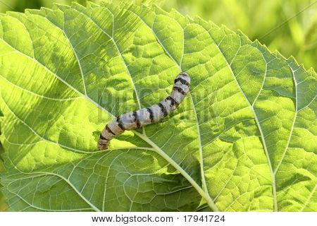 silkworm ringed silk worm eating mulberry green leaf poster