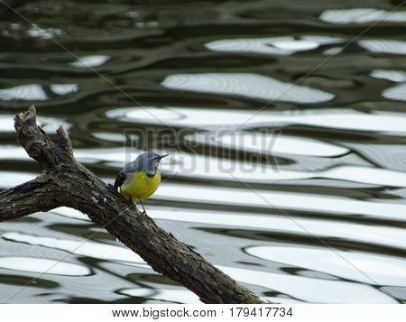 Grey wagtail perched on branch in river