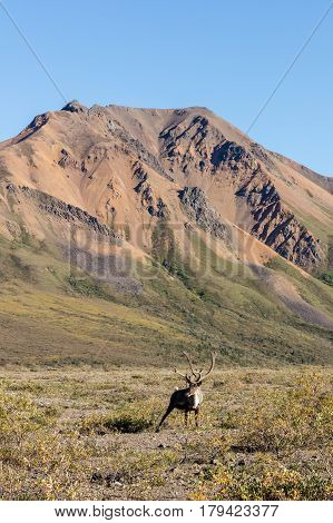a barren ground caribou bull in velvet in Denali National Park