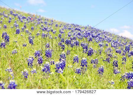 Blue Bonnet is at full bloom in Brenham, TX