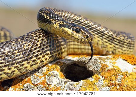 adult blotched snake closeup one of the rarest in Dobrogea romania ( Elaphue sauromates )