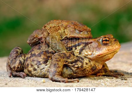 common brown toad in mating season ( Bufo ) male and female