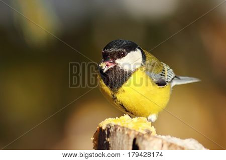 cute great tit at garden bird feeder ( Parus major ); in winter the hungry wildlife is coming to eat seeds