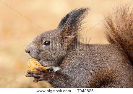 cute hungry european red squirrel eating walnut ( Sciurus vulgaris wild animal )
