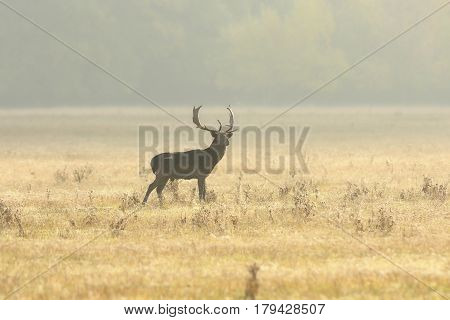 fallow deer buck walking on lawn in the morning beautiful sunset light ( Dama )