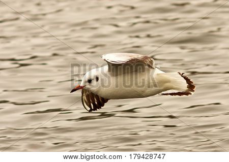 juvenile black headed gull flying over water winter plumage ( Chroicocephalus ridibundus )